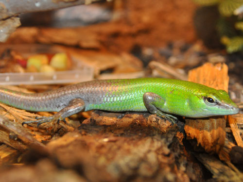 photo Philippine tree skink / <span class='cursive'>Lamprolepis smaragdinum</span>