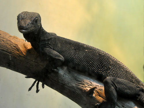photo Black tree monitor / <span class='cursive'>Varanus beccarii</span>
