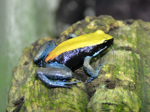 photo Blue-legged mantella / <span class='cursive'>Mantella expectata</span>