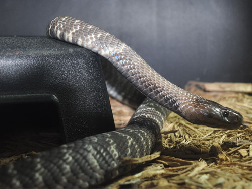 photo Western barred spitting cobra / <span class='cursive'>Naja nigricincta</span>