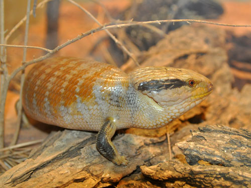 photo Central blue-tongued skink / <span class='cursive'>Tiliqua multifasciata</span>
