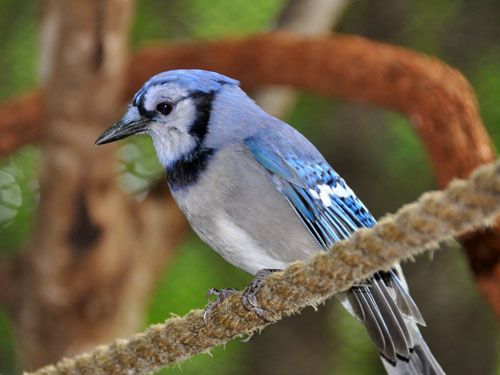 photo Blue jay / <span class='cursive'>Cyanocitta cristata</span>