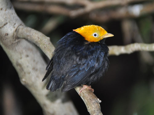 Golden-headed manakin