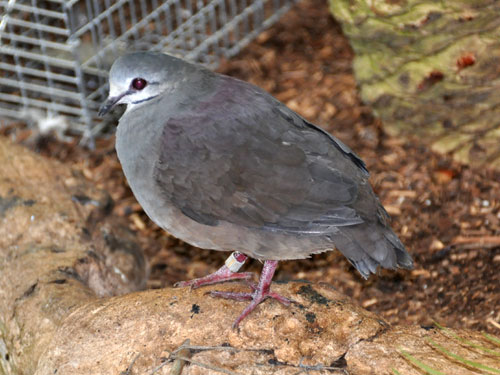 Purplish-backed quail dove