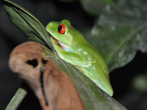 photo Red-eyed tree frog / <span class='cursive'>Agalychnis callidryas</span>