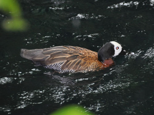 White-faced whistling duck