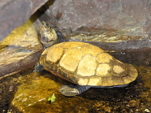 Madagascar big-headed turtle
