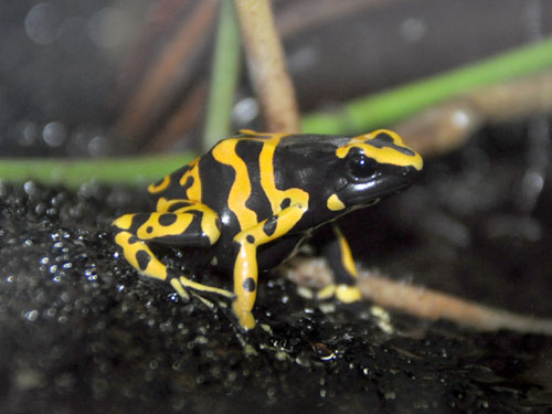 photo Yellow-banded poison dart frog / <span class='cursive'>Dendrobates leucomelas</span>