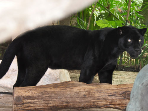 photo Jaguar / <span class='cursive'>Panthera onca</span>