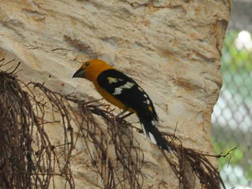 photo Yellow grosbeak / <span class='cursive'>Pheucticus chrysopeplus</span>