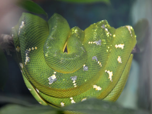 photo Emerald tree boa / <span class='cursive'>Corallus caninus</span>