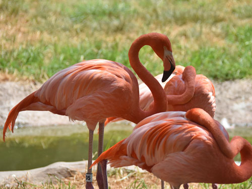 photo Caribbean Flamingo / <span class='cursive'>Phoenicopterus ruber</span>