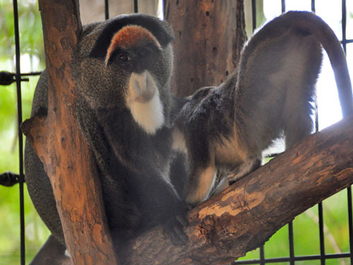 photo De Brazza's monkey / <span class='cursive'>Cercopithecus neglectus</span>