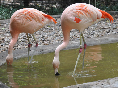 photo Chilean flamingo / <span class='cursive'>Phoenicopterus chilensis</span>