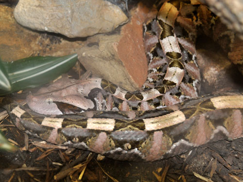 photo Western gaboon viper / <span class='cursive'>Bitis rhinoceros</span>