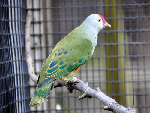 Pink-crowned fruit dove