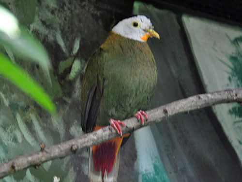 photo Ptilinopus melanospilus / Black-naped fruit dove