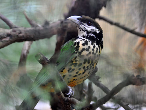 photo White-eared catbird / <span class='cursive'>Ailuroedus buccoides</span>