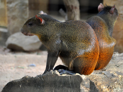 photo Brazilian agouti / <span class='cursive'>Dasyprocta leporina</span>