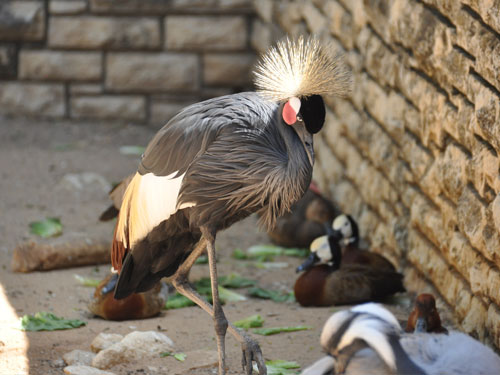 photo West African crowned crane / <span class='cursive'>Balearica pavonina pavonina</span>