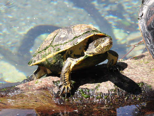 Florida chicken turtle