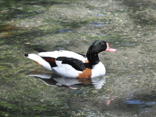 photo Tadorna tadorna / Common shelduck