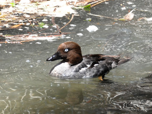 American common goldeneye