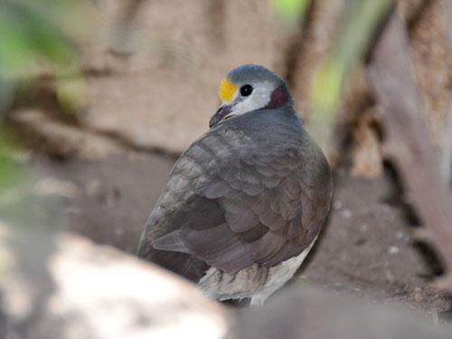 photo Yellow-breasted ground dove / <span class='cursive'>Gallicolumba tristigmata</span>