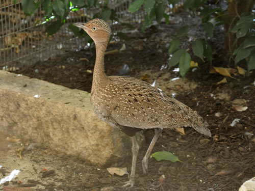 photo Red-crested bustard / <span class='cursive'>Lophotis ruficrista</span>