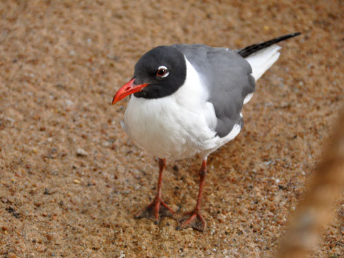 photo Laughing gull / <span class='cursive'>Leucophaeus atricilla</span>
