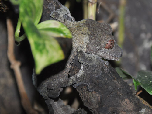 photo Henkel's leaf-tailed gecko / <span class='cursive'>Uroplatus henkeli</span>