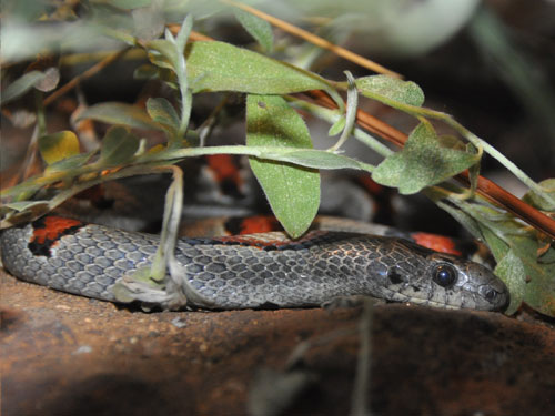 photo Grey-banded kingsnake / <span class='cursive'>Lampropeltis alterna</span>