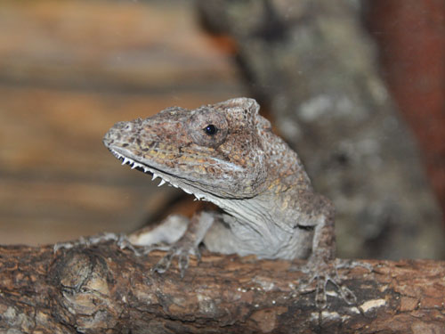 Western bearded anole