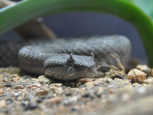 photo Black-tailed pitviper / <span class='cursive'>Mixcoatlus melanurus</span>