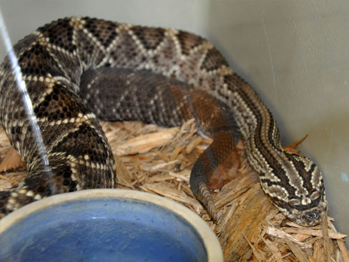 photo Cascabel rattlesnake / <span class='cursive'>Crotalus durissus ruruima</span>