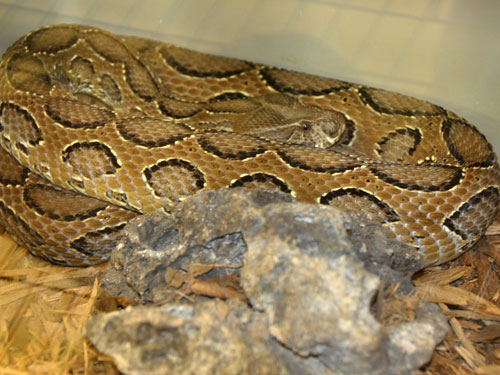 photo Russell's viper / <span class='cursive'>Daboia russellii</span>