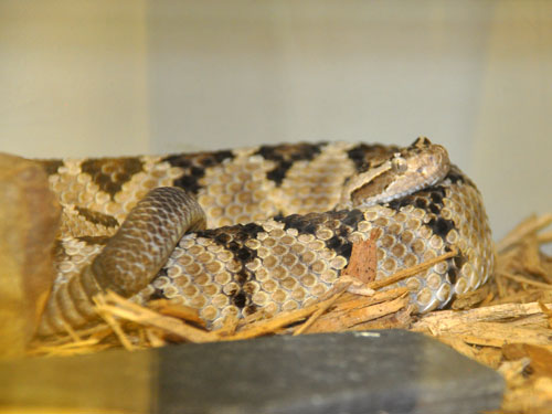 photo Lower California rattlesnake / <span class='cursive'>Crotalus enyo</span>