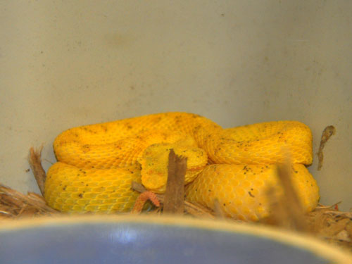 photo Eyelash palm pitviper / <span class='cursive'>Bothriechis schlegelii</span>