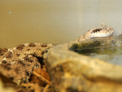 photo Sidewinder / <span class='cursive'>Crotalus cerastes</span>