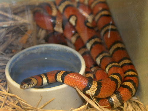 photo New Mexico milksnake / <span class='cursive'>Lampropeltis triangulum celaenops</span>