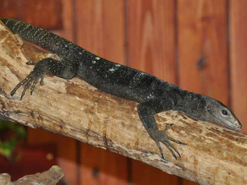 Solomon Island spiny monitor
