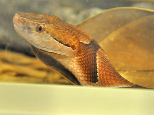 photo Copperhead / <span class='cursive'>Agkistrodon contortrix</span>