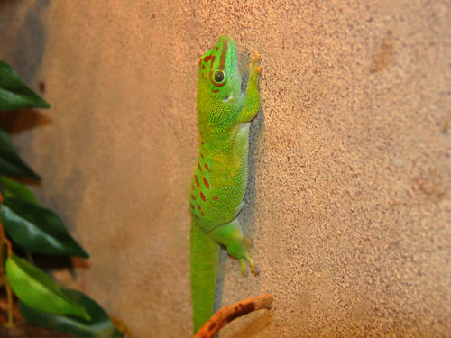 photo Madagascar giant day gecko / <span class='cursive'>Phelsuma grandis</span>