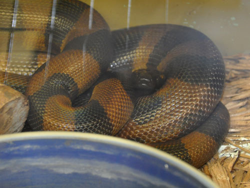 photo Bismarck ringed python / <span class='cursive'>Bothrochilus boa</span>