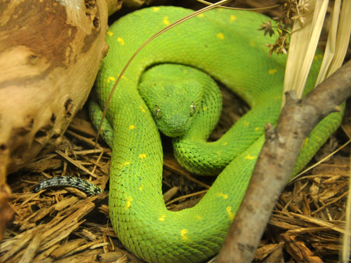 West African bush viper