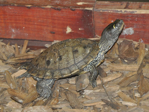 False map turtle