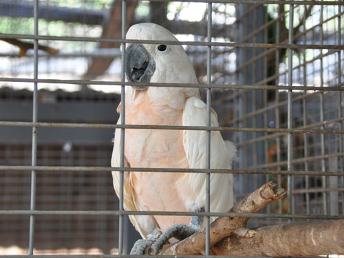 photo Salmon-crested cockatoo / <span class='cursive'>Cacatua moluccensis</span>