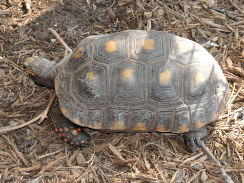 South American red-footed tortoise