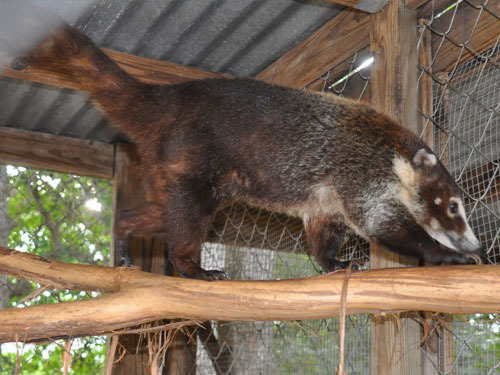 photo White-nosed coati / <span class='cursive'>Nasua narica</span>