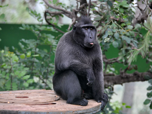 photo Sulawesi crested macaque / <span class='cursive'>Macaca nigra</span>